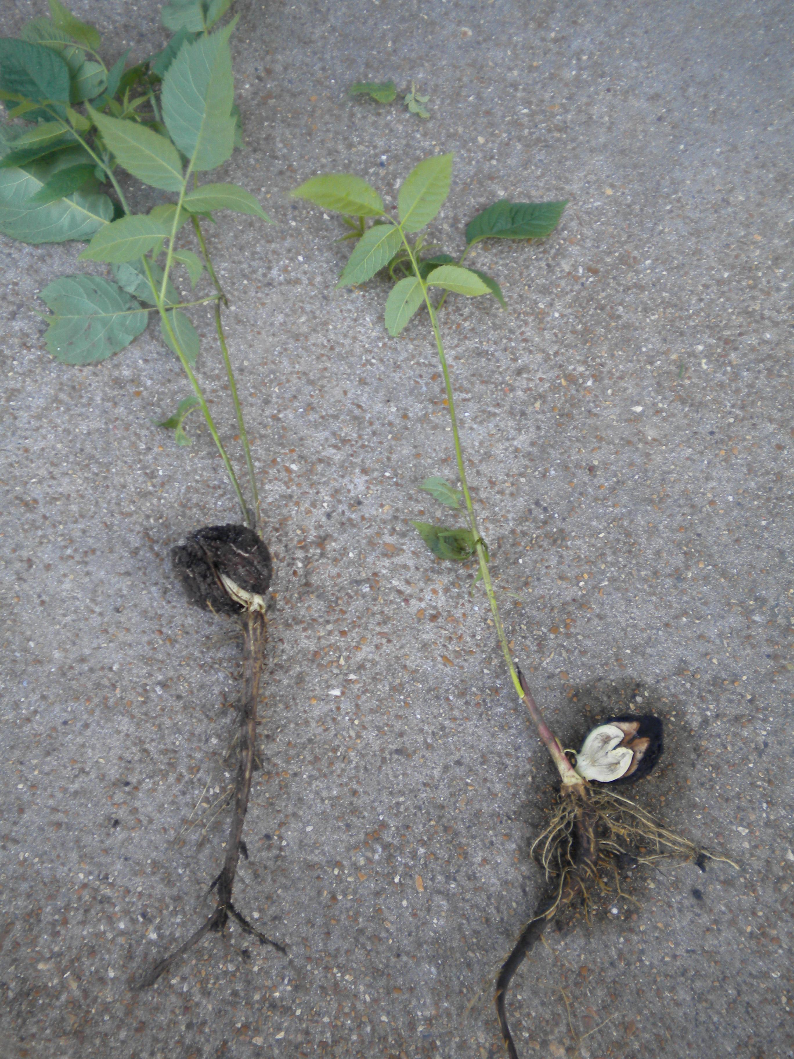 A Black Walnut Tree Nature Study | My Soul Doth Delight…