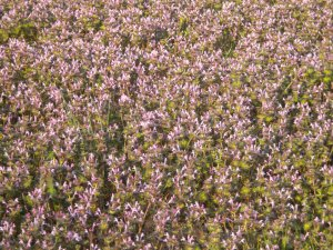 Sea of Henbit Weeds