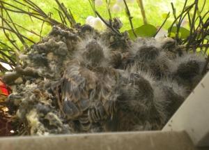 baby birds #3