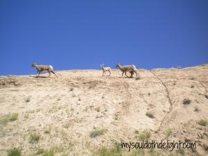 Badlands Mountain Goats 3