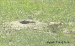 Wind Cave Prairie Dog Home