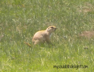 Wind Cave Prairie Dog