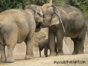 St. Louis Zoo 2013 Elephants