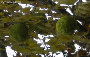 Osage Orange Tree with Fruit