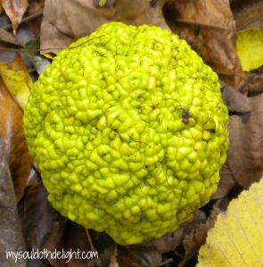 The Brain - aka Osage Orange