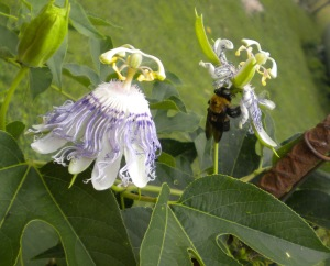 Bee in Passion Flower
